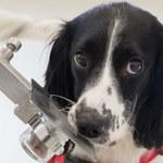 Psy mogą wywęszyć malarię