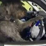 Psy po przejściach za kierownicą samochodu