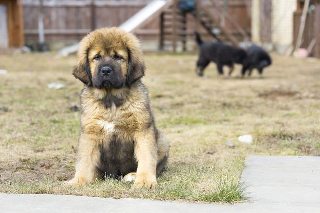 Psy rasy mastif tybetański są niezwykle drogie /©123RF/PICSEL