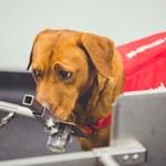Psy są w stanie wywąchać raka prostaty
