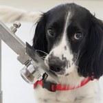 Psy swoim węchem mogą zdiagnozować malarię