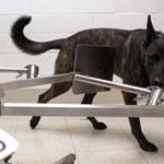 Psy wywęszą koronawirusa