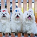 Psy z włosami: Jaką rasę wybrać?