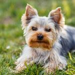 Psy z włosami zamiast sierści: Fakty i mity