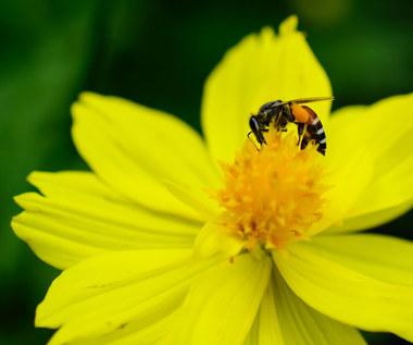 Pszczele bakterie lepsze od antybiotyków