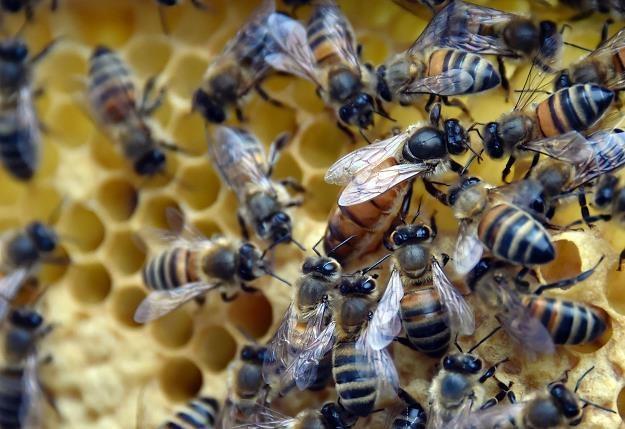 Pszczoła krainka uważana jest też za część dziedzictwa przyrodniczego i kulturalnego Słowenii /PAP