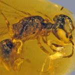 Pszczoła sprzed 100 mln lat
