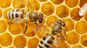 Pszczołom grozi zagłada?