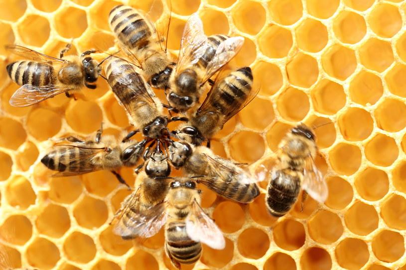 Pszczoły budzą powszechną sympatię, ale w rzeczywistości nie mają łatwego życia /123RF/PICSEL
