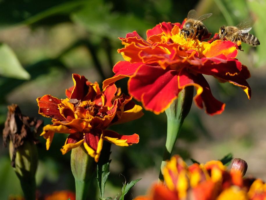 Pszczoły. Jesienne, słoneczne popołudnie w parku miejskim Przemyślu /Darek Delmanowicz /PAP