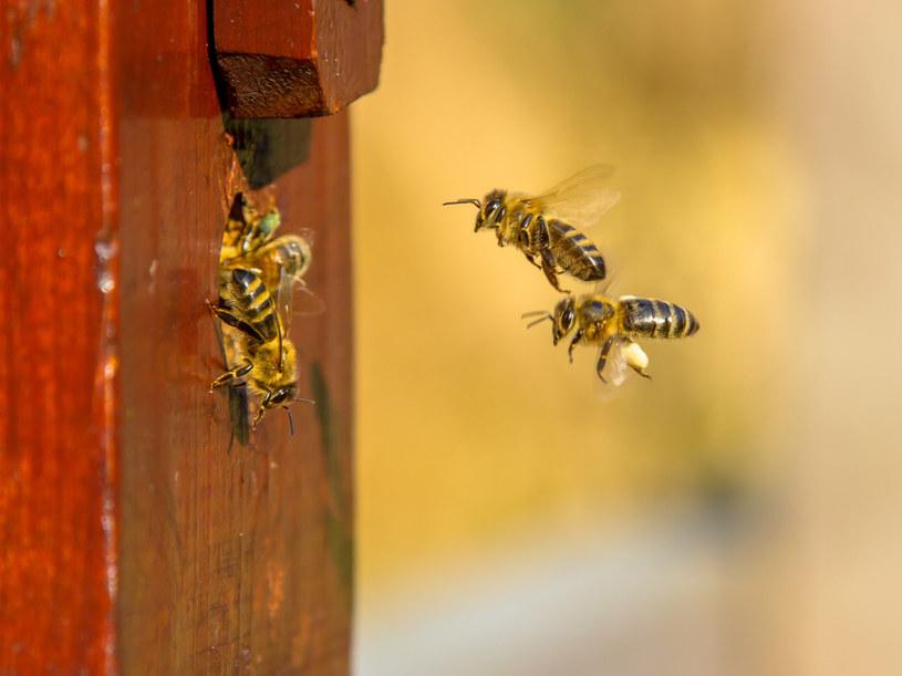Pszczoły komunikują sie między sobą poprzez taniec. Każdy oznacza coś innego /123RF/PICSEL