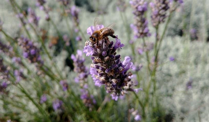 Pszczoły, które znalazły pożytek, przekazują informacje pozostałym zbieraczkom za pomocą tańca /Ewelina  Karpińska-Morek /INTERIA