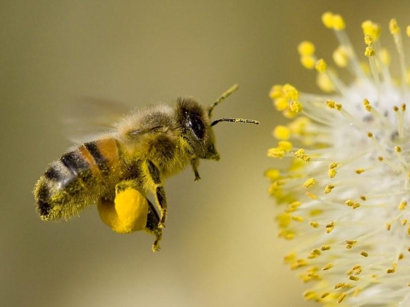 Pszczoły mają leczniczą moc /©123RF/PICSEL