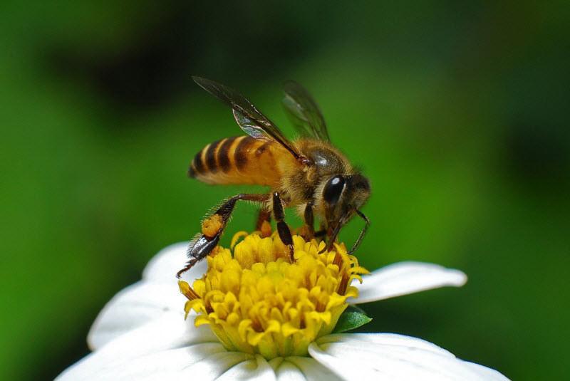 pszczoły miodne /© Photogenica