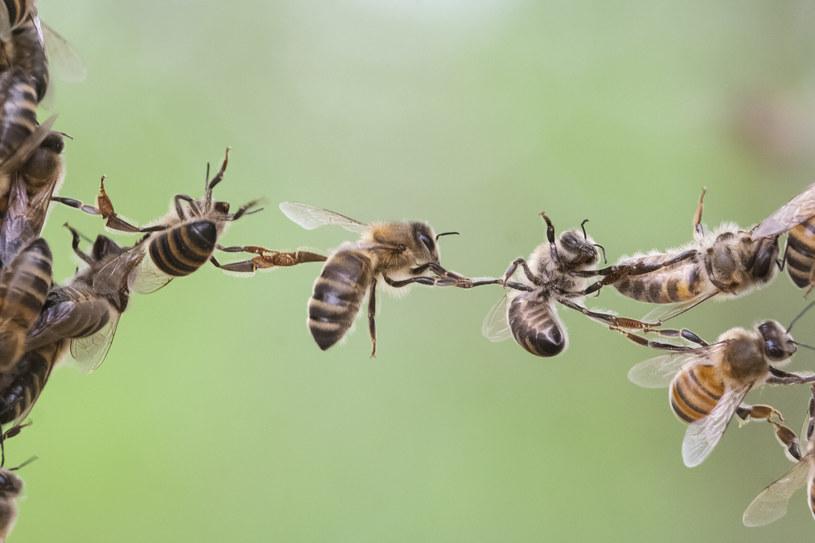 Pszczoły mogą być bardzo agresywne, gdy ktoś zaatakuje ich ul /123RF/PICSEL
