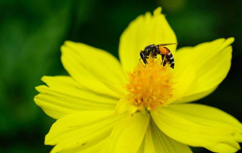 Pszczoły mogą okazać się rozwiązaniem problemów z końcem ery antybiotyków /123RF/PICSEL