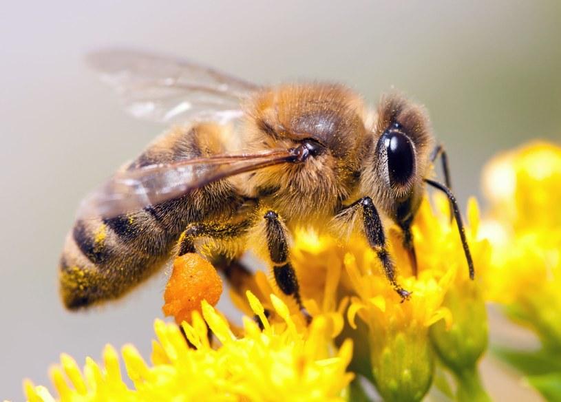 Pszczoły możemy spotkać praktycznie wszędzie, zarówno w przestrzeni miejskiej jak i na łąkach, w lasach i górach /123RF/PICSEL