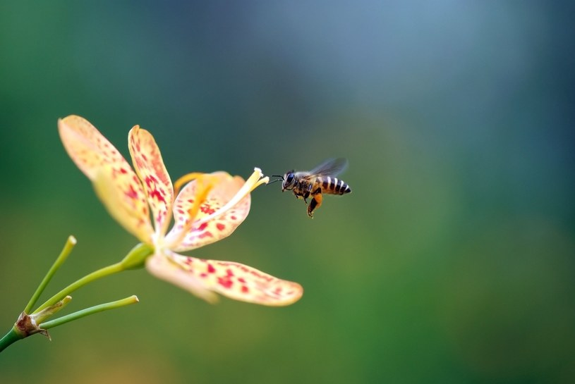 Pszczoły pomogą w wykrywaniu SARS-CoV-2 /123RF/PICSEL