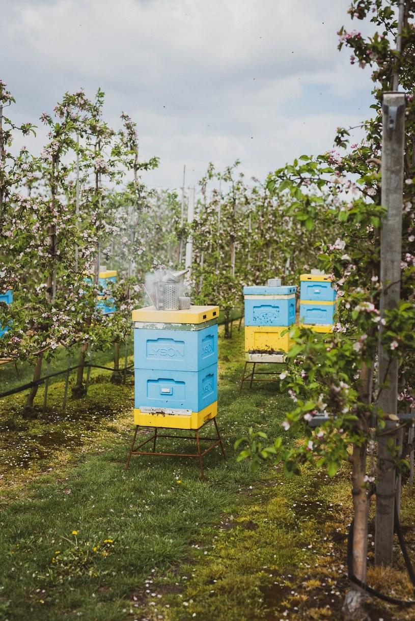 Pszczoły potrzebują naszej pomocy. Każdy krok, mający na celu poprawę sytuacji pszczół ma sens /INTERIA.PL/materiały prasowe