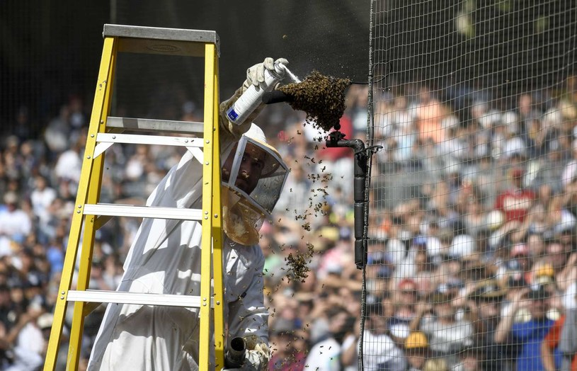 Pszczoły przerywają zawody sportowe /AFP