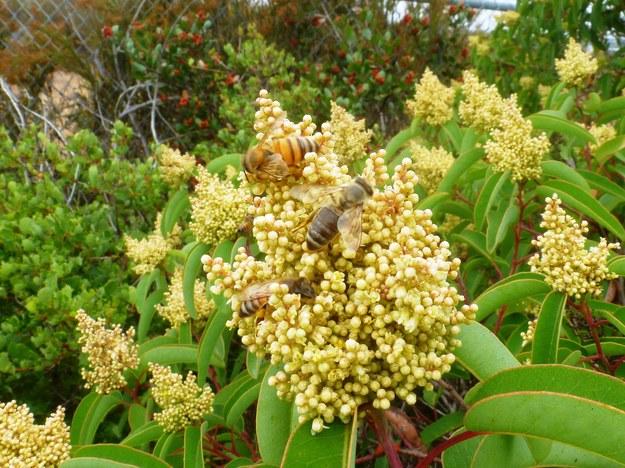 Pszczoły przy pracy /Keng-Lou James Hung/UC San Diego /Materiały prasowe