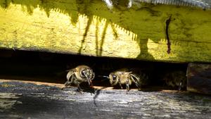 Pszczoły. Reportaż z mikropaństwa