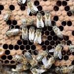 """Pszczoły słabsze przez """"in vitro"""""""