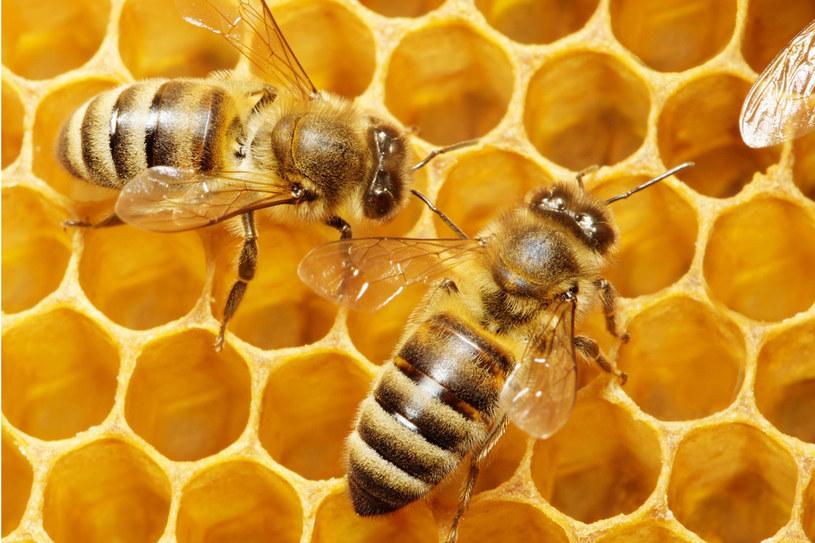Pszczoły to bardzo pracowite zwierzęta. Naturalny miód ma dobroczynne właściwości /123RF/PICSEL