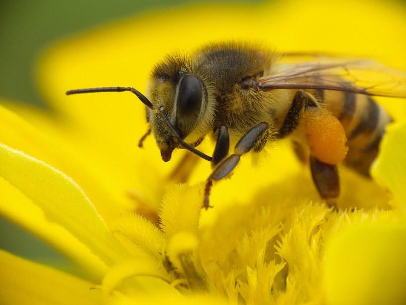 Pszczoły to pracusie, ale nie zawsze je doceniamy. A warto mieć je w swoim ogrodzie /123RF/PICSEL
