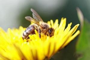 Pszczoły tresowane do wykrywania min przeciwpiechotnych