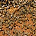 Pszczoły w Nowym Jorku