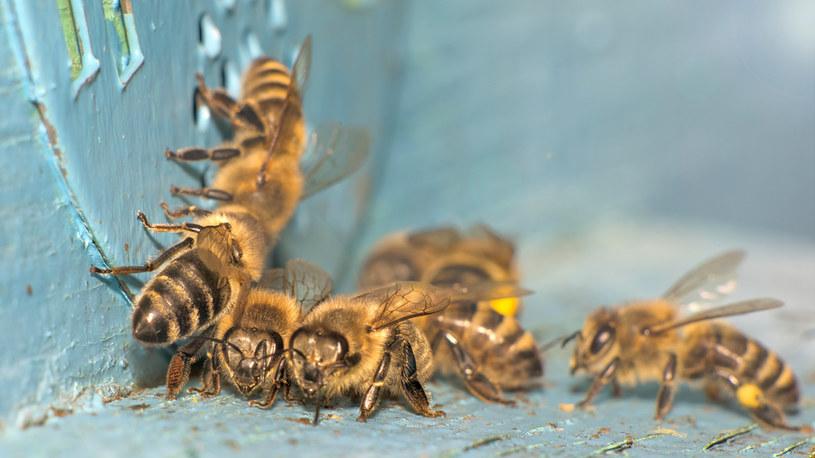Pszczoły w pobliżu domu? Wielka radość, ale czasem i wielki kłopot /123RF/PICSEL