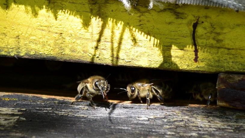 Pszczoły w ulu, zdjęcie ilustracyjne /Ewelina  Karpińska-Morek /INTERIA