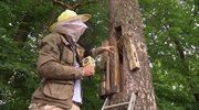 Pszczoły wracają do lasu. Jak leśnicy o nie dbają?