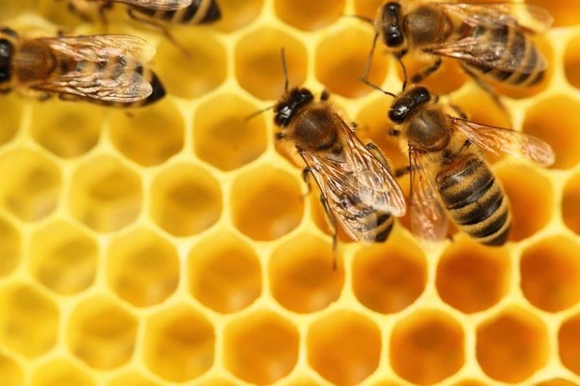 Pszczoły zagrożone - spaliny zmniejszają zapach kwiatów /123RF/PICSEL