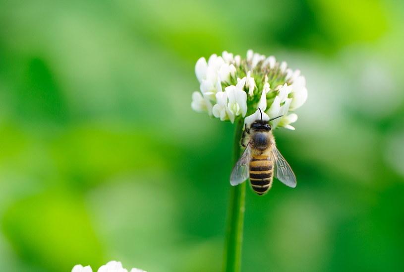 Pszczoły zbierają nektar i pyłek kwiatów /123RF/PICSEL