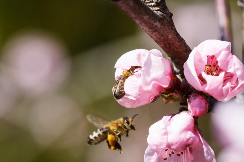 Pszczoły, zdj. ilustracyjne /Marek Durajczyk /Reporter