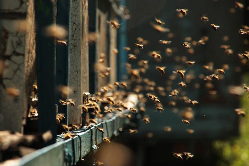 Pszczoły /©123RF/PICSEL
