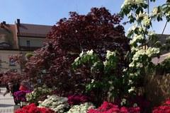 Pszczyna zamieniła się w piękny, pachnący ogród