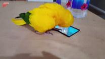 Ptak, który potrafi tańczyć. I to jak!