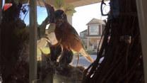 Ptak uwił gniazdo na drzwiach wejściowych. Wzruszające