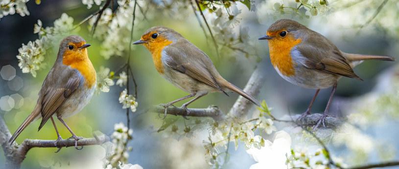 Ptaki są sprzymierzeńcami człowieka w ogrodzie /123RF/PICSEL
