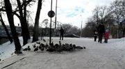 Ptaki terroryzują mieszkańców Wrocławia