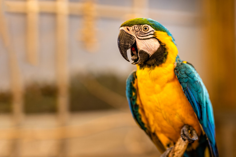 Ptaki też lubią się śmiać - prym wiodą w tej grupie papugi /123RF/PICSEL