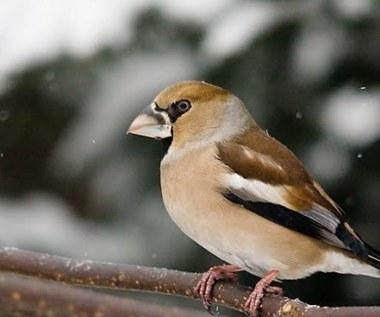 Ptaki z Czarnobyla przystosowują się do życia w skażonym środowisku