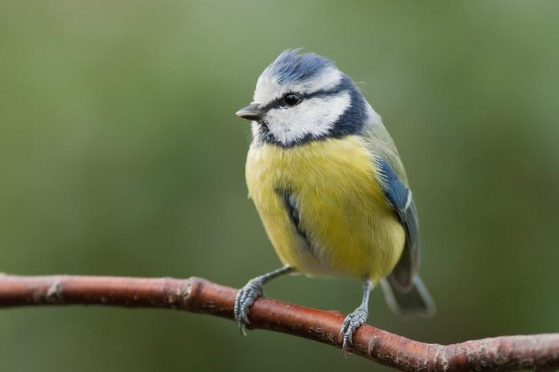 Ptaki zjadają szkodniki /123RF/PICSEL