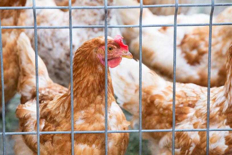 Ptasia grypa może, niestety, zaatakować człowieka i dla nas jest niebezpieczna /123RF/PICSEL