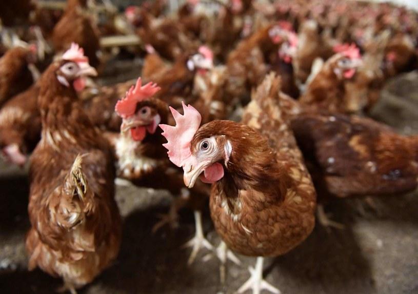 Ptasia grypa uderza w rynek drobiu i jaj /AFP