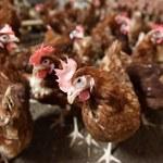 Ptasia grypa uderza w rynek drobiu i jaj