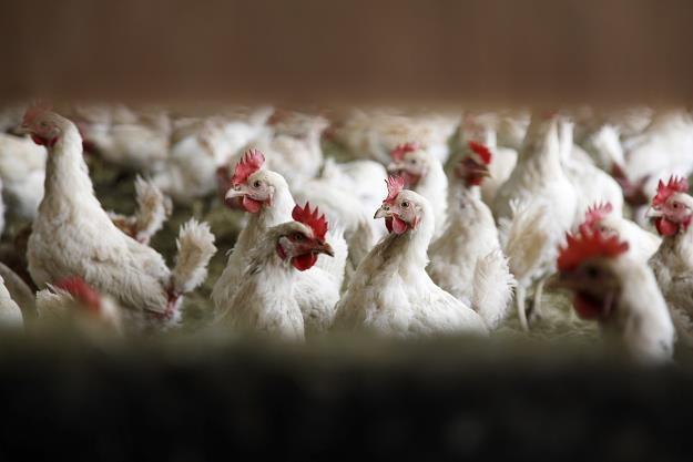 Ptasia grypa w Polsce! /©123RF/PICSEL